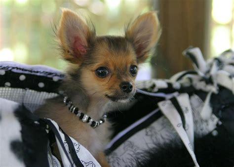 tips  housebreaking small dogs figo pet insurance