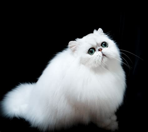 persian cats in orlando my persian kittens persian 35 very best white persian cat pictures and images