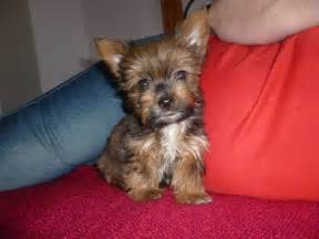 yorkie colors yorkies different colors breeds picture