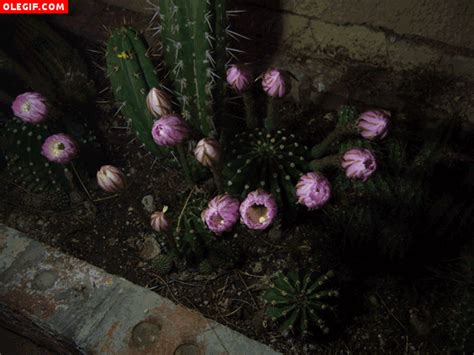 imagenes de flores gif gif flores de cactus gif 128