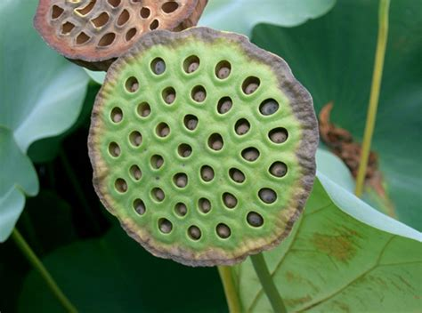 How To Plant Lotus Seeds Permaculture Plants Water Lotus Temperate Climate