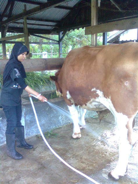 kupasan mh teknik inseminasi buatan  sapi