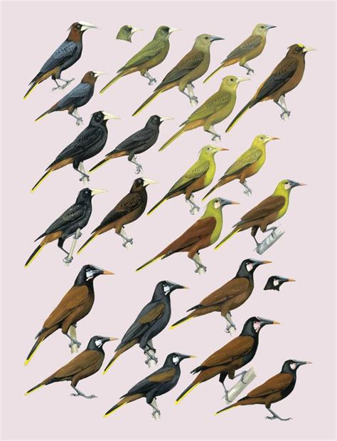 handbook of the birds of the world 16