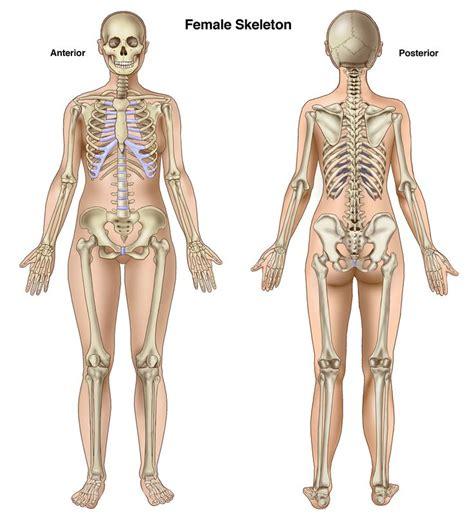 anterior view skeletal search