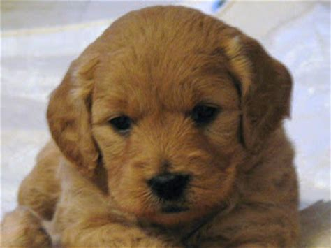 goldendoodle puppy progression daisey s doodles seattle f1 s progression from