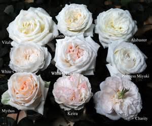 white garden roses 001