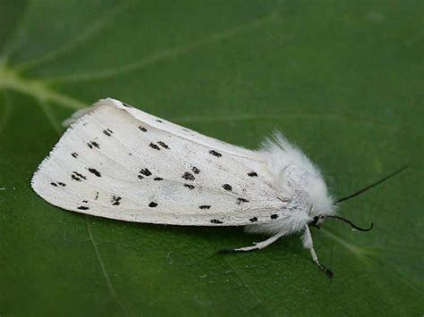 with black spots small white moth with black spots