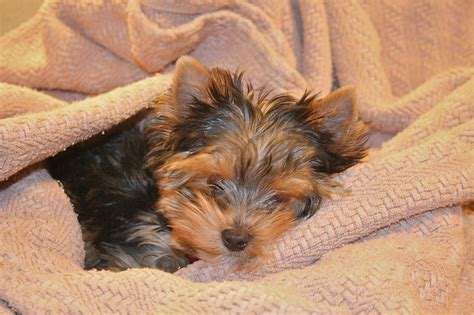 pictures yorkie puppies yorkie pictures