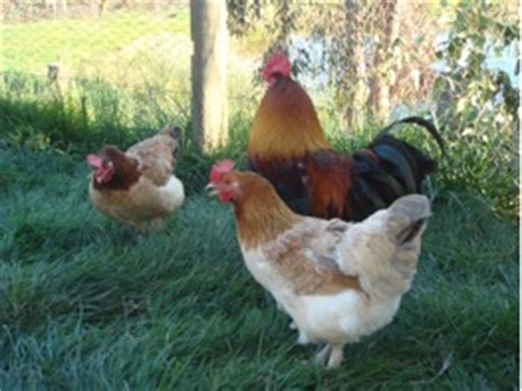 Chicken Breeds Melbourne Backyard Chickens Melbourne
