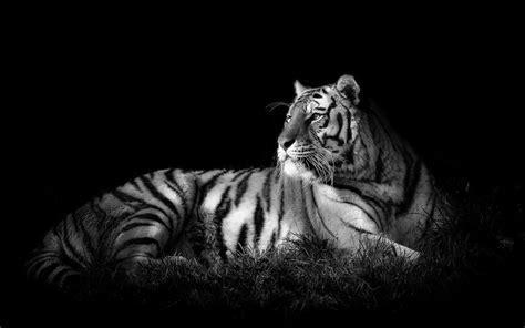 wallpaper black tiger black tiger hd wallpaper dowload