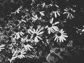 Black and white daisy field black and white daisies