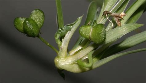 spider plant germination tips  growing spider plants