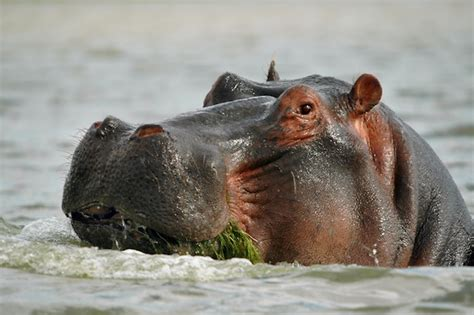 what does it when a eats grass hippopotamus feeding hippopotamus facts and information