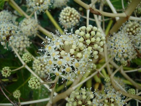 imagenes extrañas para perfil umbelfera extraa de flores blancas y hojas compuestas