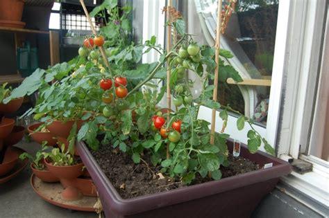 Tomaten auf dem Balkon pflanzen   Tipps zur richtigen