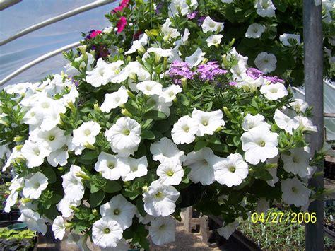 Wave And Flower growing wave petunias joe s musings