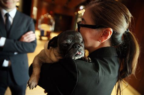 pug rescue chicago the rescue pug finds home at mag mile hotel chicago tribune