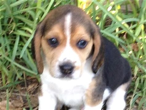 puppies for sale in corpus christi view ad beagle puppy for sale corpus christi