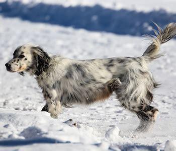 llewellin setter dog size llewellin setter dog breed