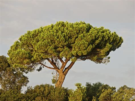 The Pine Tree italian pine tree care tips for growing italian