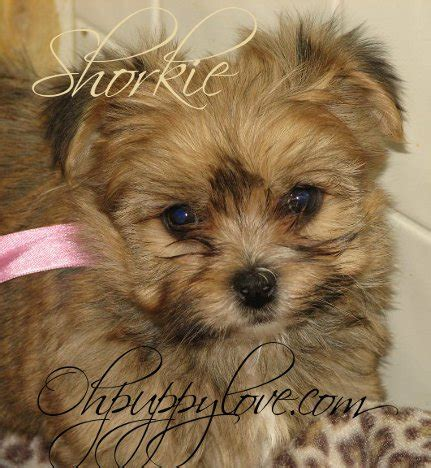 morkie puppies for sale in michigan morkies for sale shorkies for sale maltipoos for sale morkie puppy for sale shorkie