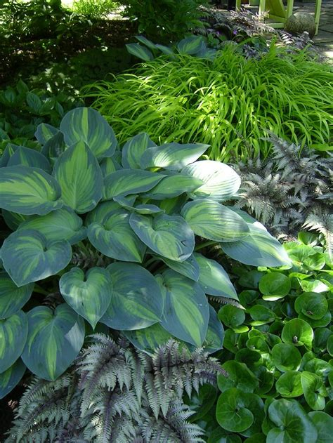 shade hostas hostas and ferns pinterest
