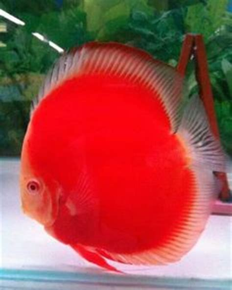 Discus Melon Import Malaysia 3 1000 images about discus gallery on discus