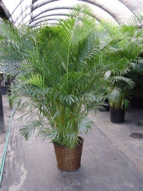 areca palm images  pinterest palm plants palm