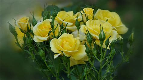 Yellow Roses Are Blooming In The Garden Wallpapers And Yellow Flower Garden