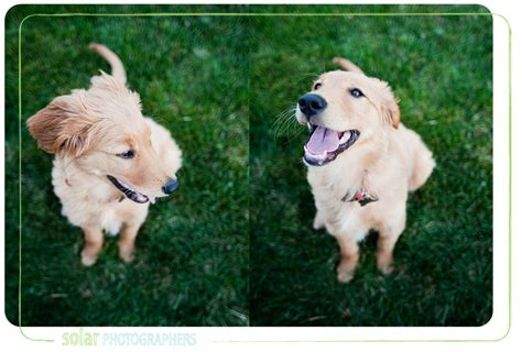 golden retriever breeders in kansas golden retriever mix puppies kansas city dogs our friends photo