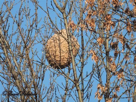 nid de frelons sous les tuiles le frelon asiatique fredonra