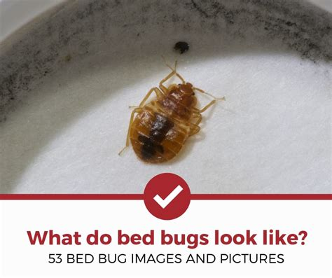 bed bugs    pictures  bed bugs pest strategies