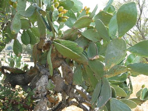 prickly spiny fruit tree the world 180 s tree species prickly pear or barbary fig a