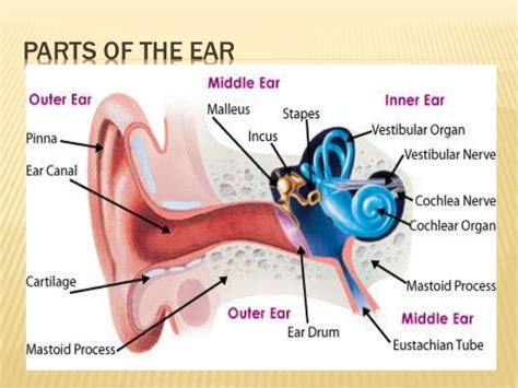 ear sections the human ear