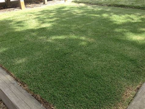 santa ana couch grass sir walter turf donnellys garden supplies