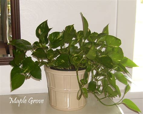in house plant maple grove houseplant makeover
