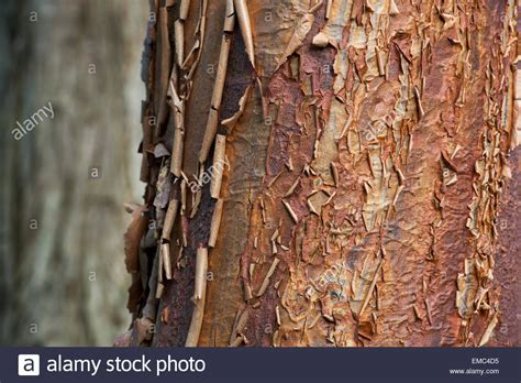 Tree With Shedding Bark by Acer Griseum Paperbark Maple Tree With Peeling Bark Stock