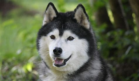 husky puppy care siberian husky breed information