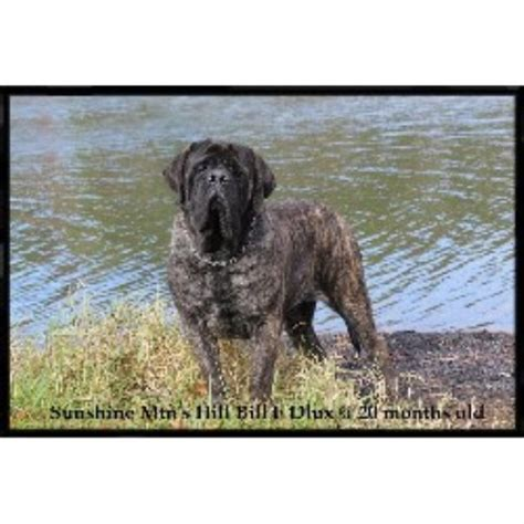 mastiff puppies ohio mtn mastiffs 174 mastiff breeder in whipple ohio listing id 10001