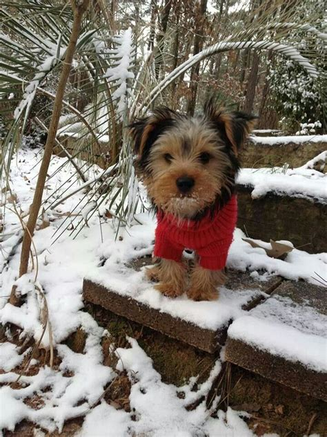 yorkies in the snow pets 10 handpicked ideas to discover in animals and pets cats