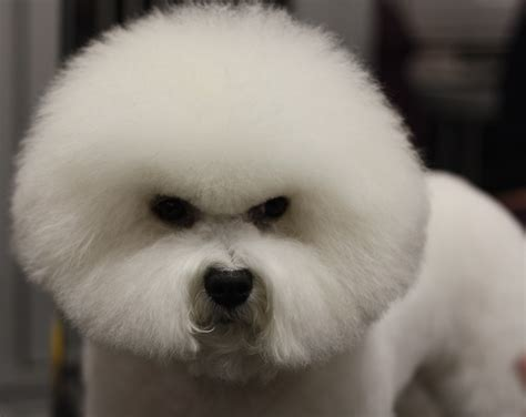 angry dogs angry breed bichon frise wallpapers and images wallpapers pictures photos