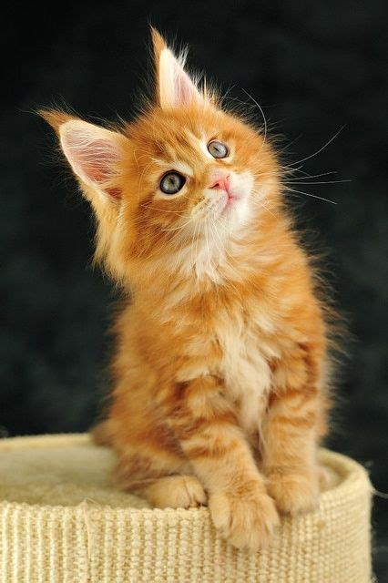 Orange Maine Coon kitten   WANT!!!   More cats and kittens