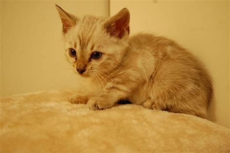 cats for sale bengal kittens for sale rushden northtonshire