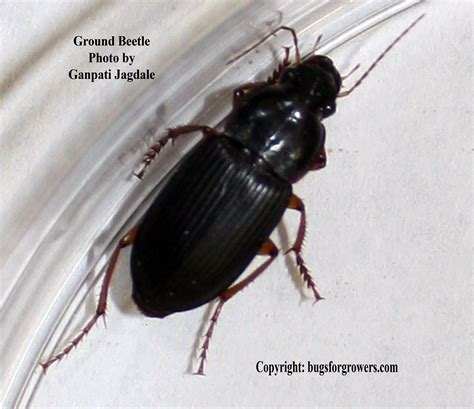 bed bug natural predators bugs for growers natural enemies can take care of chinch bugs bugs for growers