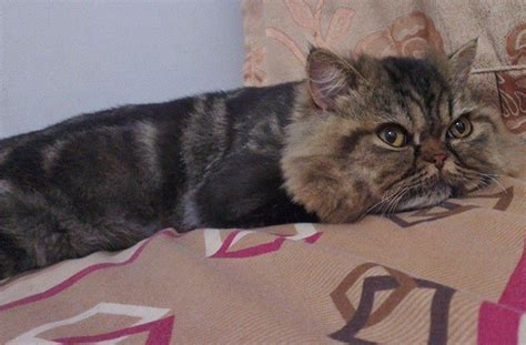 cat haircuts gone wrong owner surprised after taking her cat to a groomer bored