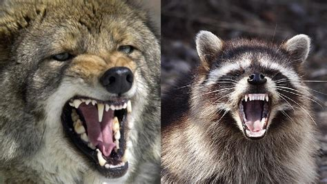 raccoon vs coyote vs raccoons and the winner is montana and fishing