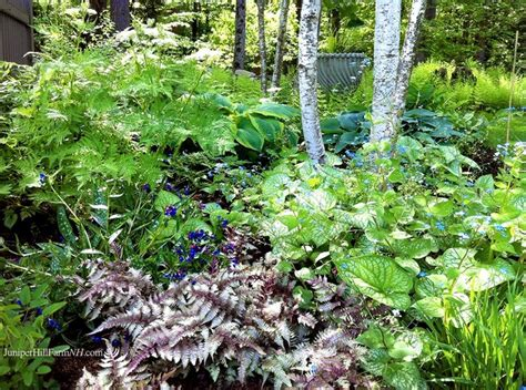 fern frost back yard biology 77 best shade garden plants ideas images on pinterest