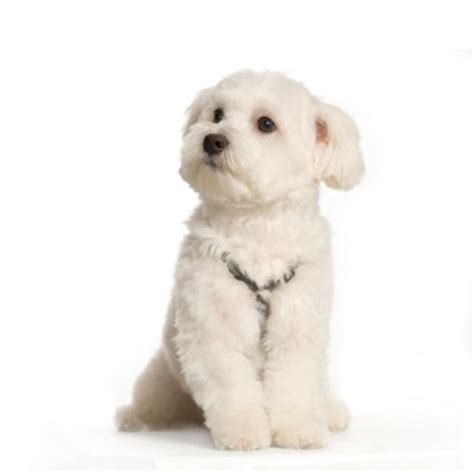 how to clean a s ears how to clean your maltese s ears grooming tutorial