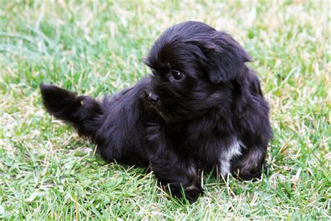 black havanese puppies havanese puppies utah havanese puppies for sale past havanese puppy