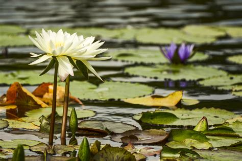 lilies or lillies what s the difference between water lilies and water lotus